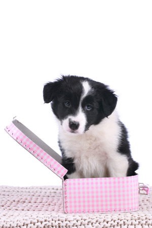 border collie puppy: Cute border collie puppy sitting in a pink little suitcase isolated Stock Photo