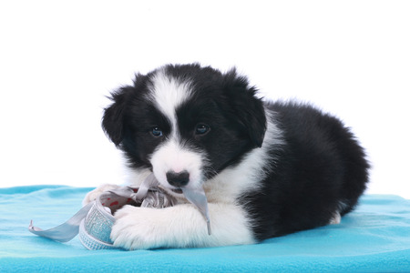 border collie puppy: Cute border collie puppy with a silver shoe toy on a blue blanket