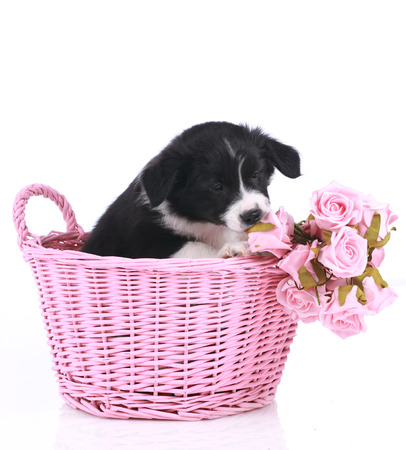 border collie puppy: Cute border collie puppy in a pink  basket isolated