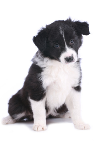 border collie puppy: Cute border collie puppy sitting isolated on white