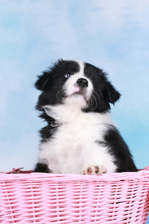 border collie puppy: Cute border collie puppy in a pink  basket Stock Photo