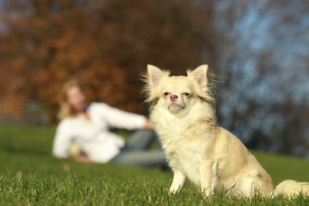 lapdog: Chihuahua dog sitting in nature with woman in background