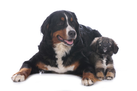 bernese mountain dog: Bernese mountain dog and mixed breed puppy isolated