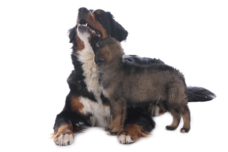 bernese dog: Bernese mountain dog and mixed breed puppy isolated