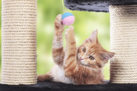 Maine Coon Kitten sitting on scratching post playing