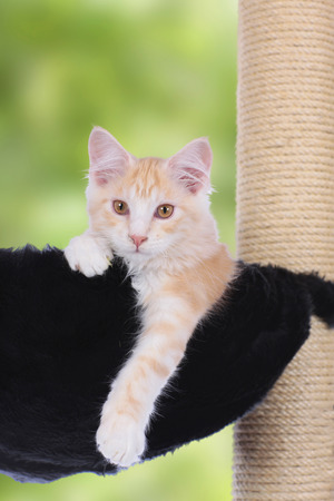 maine coon: Maine Coon Kitten sitting on scratching post looking at camera Stock Photo