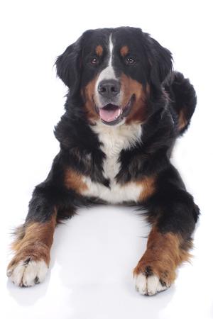 bernese mountain dog: Bernese mountain dog isolated on white Stock Photo