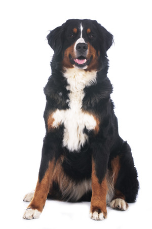 bernese mountain dog: Bernese mountain dog isolated on white sitting from the front