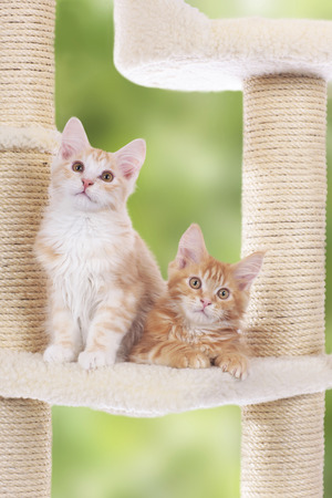 maine coon: Two Maine Coon Kitten sitting on scratching post