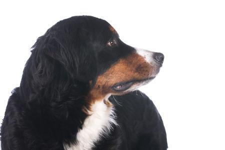 bernese dog: Bernese mountain dog isolated on white Stock Photo