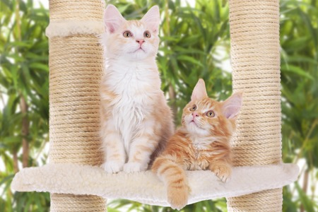 scratcher: Two Maine Coon Kitten sitting on scratching post