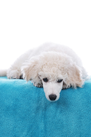 lying down on floor: Cute poodle puppy lying on a blue blanket isolated