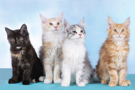 maine coon: Four cute Maine Coon kitten in a row Stock Photo