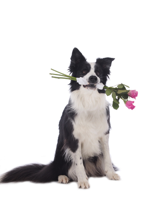 border collie: Cute border collie dog holding roses