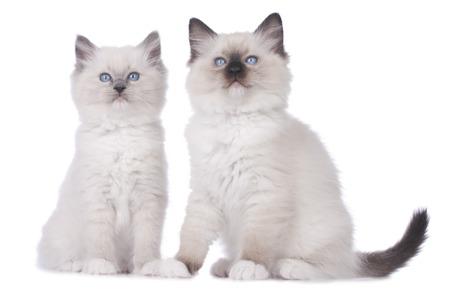 ragdoll: Two Ragdoll kitten sitting on white background isolated
