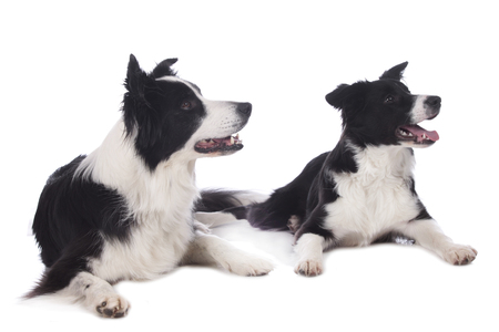 collies: Two border collies lying on white background isolated Stock Photo