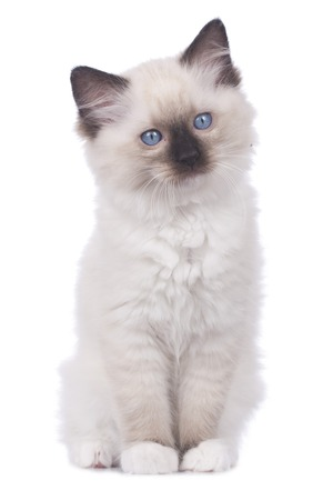 Ragdoll kitten sitting isolated on white background looking at camera