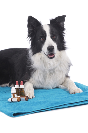 Border collie dog with homoeopathic bottles lying on blue towel