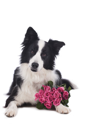 border collie: Cute border collie dog with roses isolated