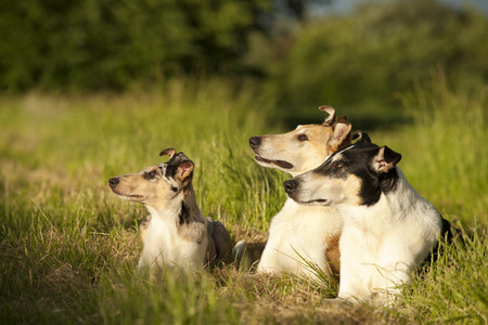 Three shorthair collies lying  in nature