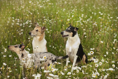 collies: Three shorthair collies in nature between flowers