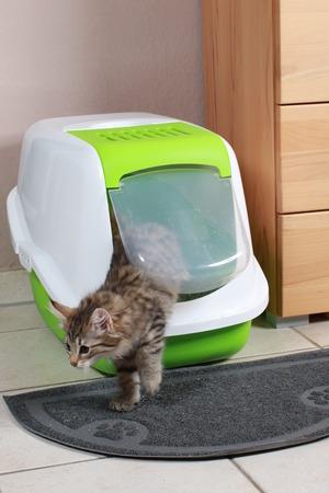 norwegian forest kitten at cat toilet indoor