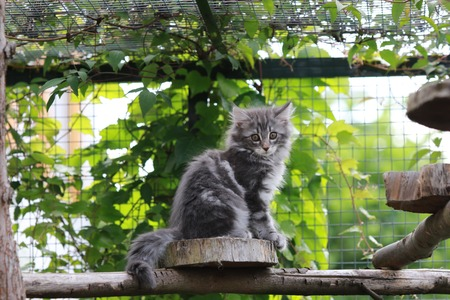 enclosure: Norwegian forest cat in an enclosure outdoor
