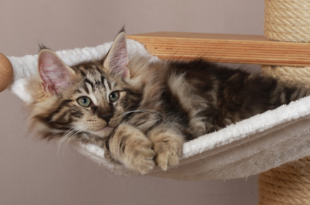 Norwegian forest cat lying on a scratching post indoor