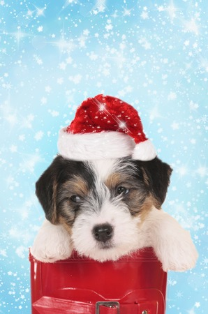 Cute parson russel puppy dog on christmas with santa hat