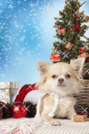lap dog: Chihuahua dog with christmas tree and blue christmas background
