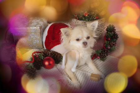 lap dog: Cute chihuahua dog on christmas with colour background