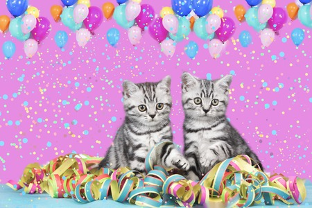 serpentinas: British shorthair cats with streamers and balloons