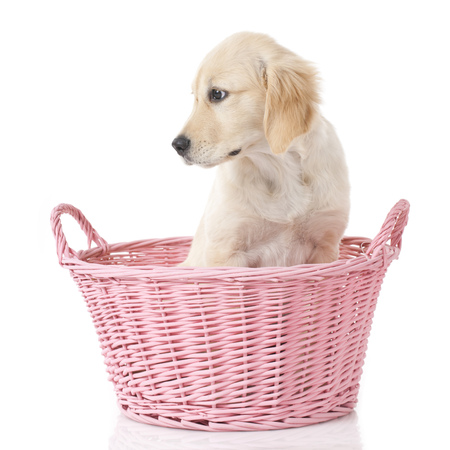 cute golden Retriever puppy isolated