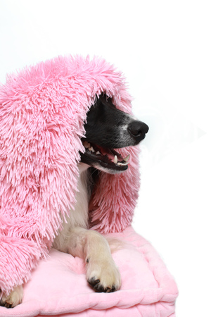 Border Collie dog hiding beneath a soft blanket indoor Stock Photo