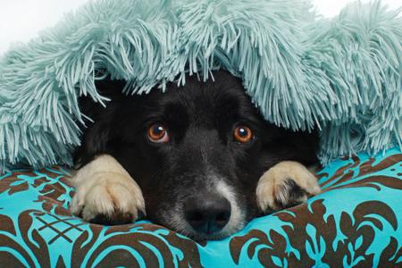 Border Collie dog hiding beneath a soft blanket indoor Stockfoto