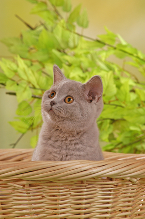 British shorthair kitten on a blanket in front of green background