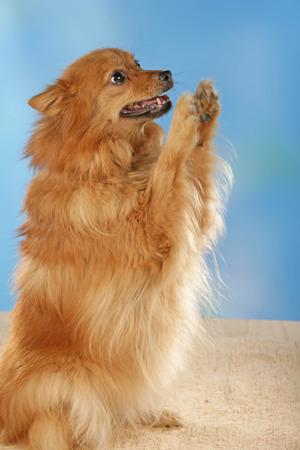 青色の背景の前にポメラニアン犬 写真素材