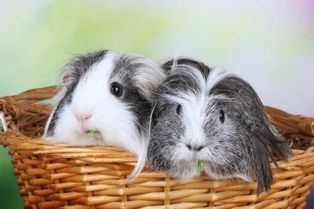 Zwei Sheelie Meerschweinchen sitzen in einem Korb