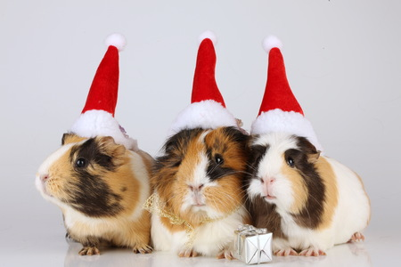 Three guinea pigs with christmas hats isolated