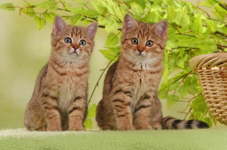 two british shorthair kitten in front of green background