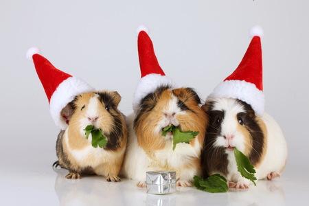 Trois cochons de guinée avec des chapeaux de noël isolés Banque d'images - 81139036