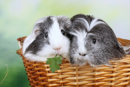 Two sheltie guinea pig sitting  in a basket