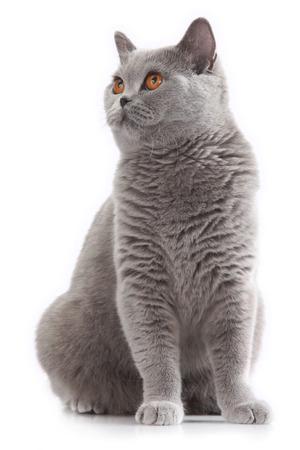 흰색 배경에 앉아 회색 영국 짧은 머리 고양이