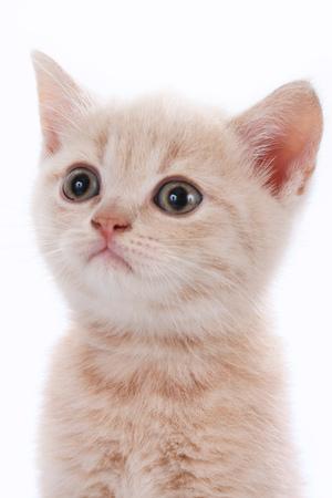 Face of a cute british shorthair kitten Stock Photo