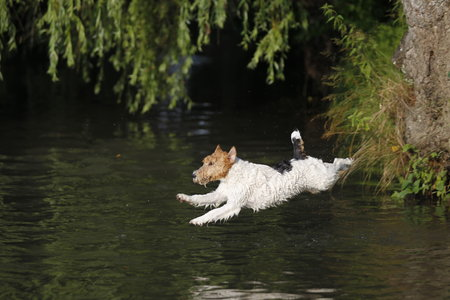 Foxterrier dog jumping into the water in summer