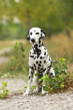 Dalmatian dog is sitting on a path in  nature environment in summer