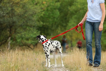 Mature woman walks with a dog in summer in green nature environment, the dog turns back