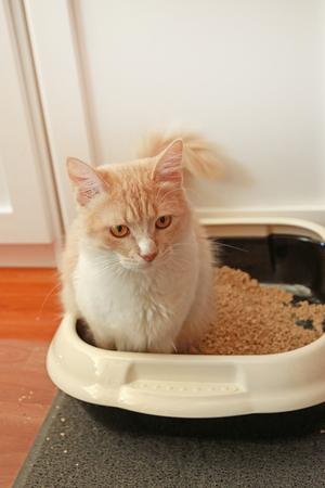 Cute domestic longhair cat peeing in cat toilet