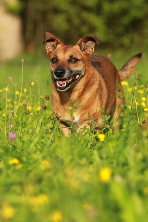 Active senior cross breed dog running through a yellow flower field in summer