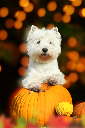 Dog breed west highland white terrier standing on pumpkin